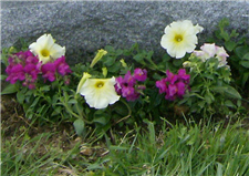 Petunias and snapdragons on grave